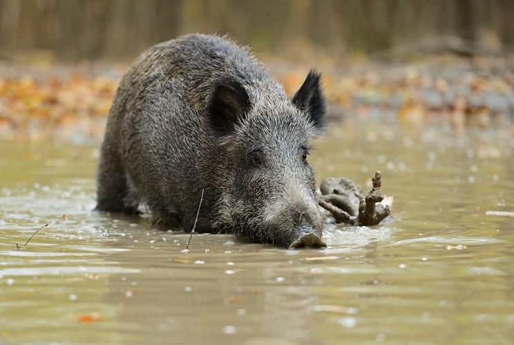 jabali peste porcina africana