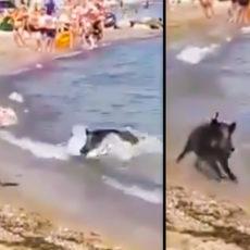 Un jabalí irrumpe en una playa abarrotada y ataca a un bañista sembrando el pánico