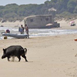Los jabalíes de Doñana se refrescan y alimentan junto a los bañistas