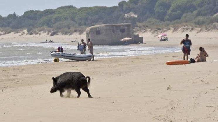 jabali playa doñana