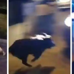 Un jabalí 'atropella' a un coche de la Policía