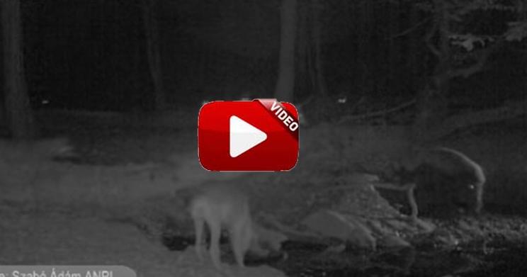 Un cochinazo pone a raya a una manada de lobos