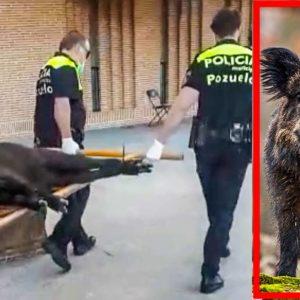 La Policía local de Pozuelo de Alarcón captura un jabalí y se lo lleva en una camilla