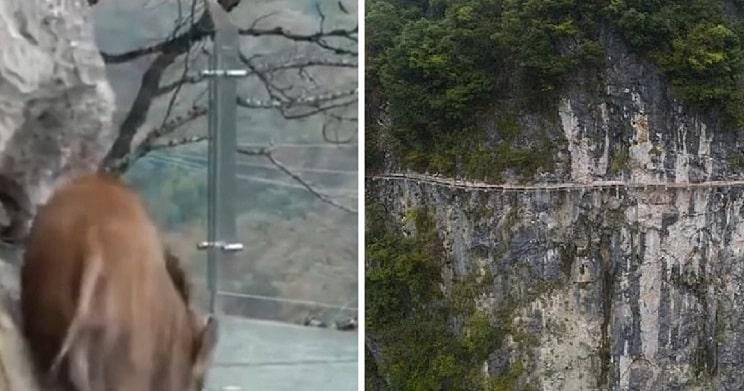 Graban a un jabalí atemorizado sobre un puente de cristal a 70 metros