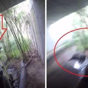Caza tres jabalíes bajo un puente de Gerona