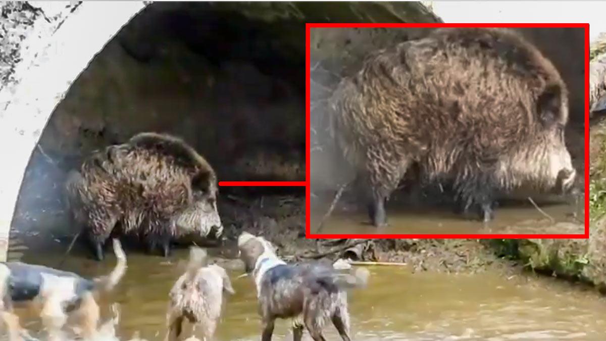 Un descomunal jabalí se atrinchera bajo un puente y mantiene a raya a los perros de caza