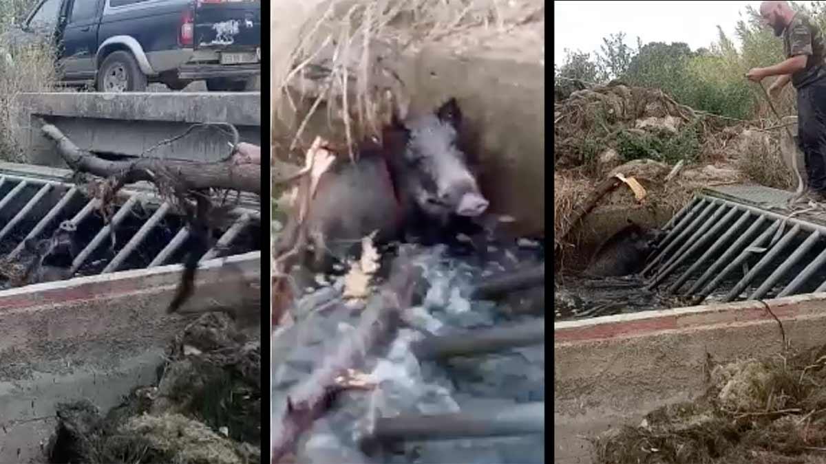Un cazador salva la vida a un jabalí y lo muestra en este ejemplar vídeo