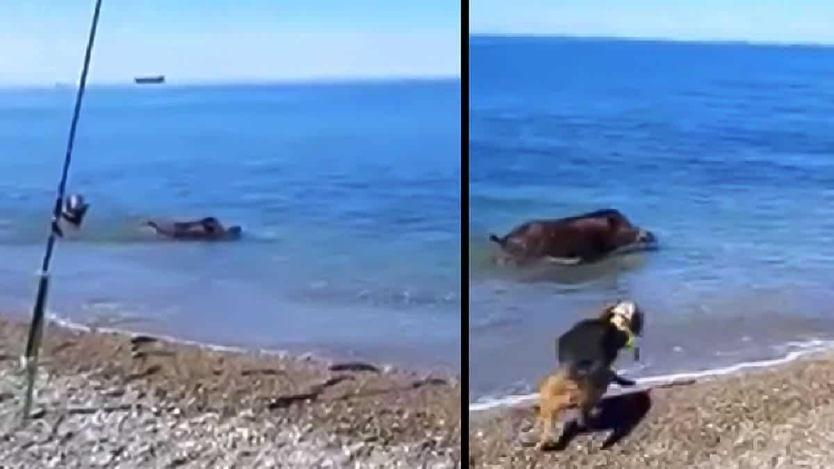 Así fue la espectacular huída al mar de un jabalí perseguido por perros de caza