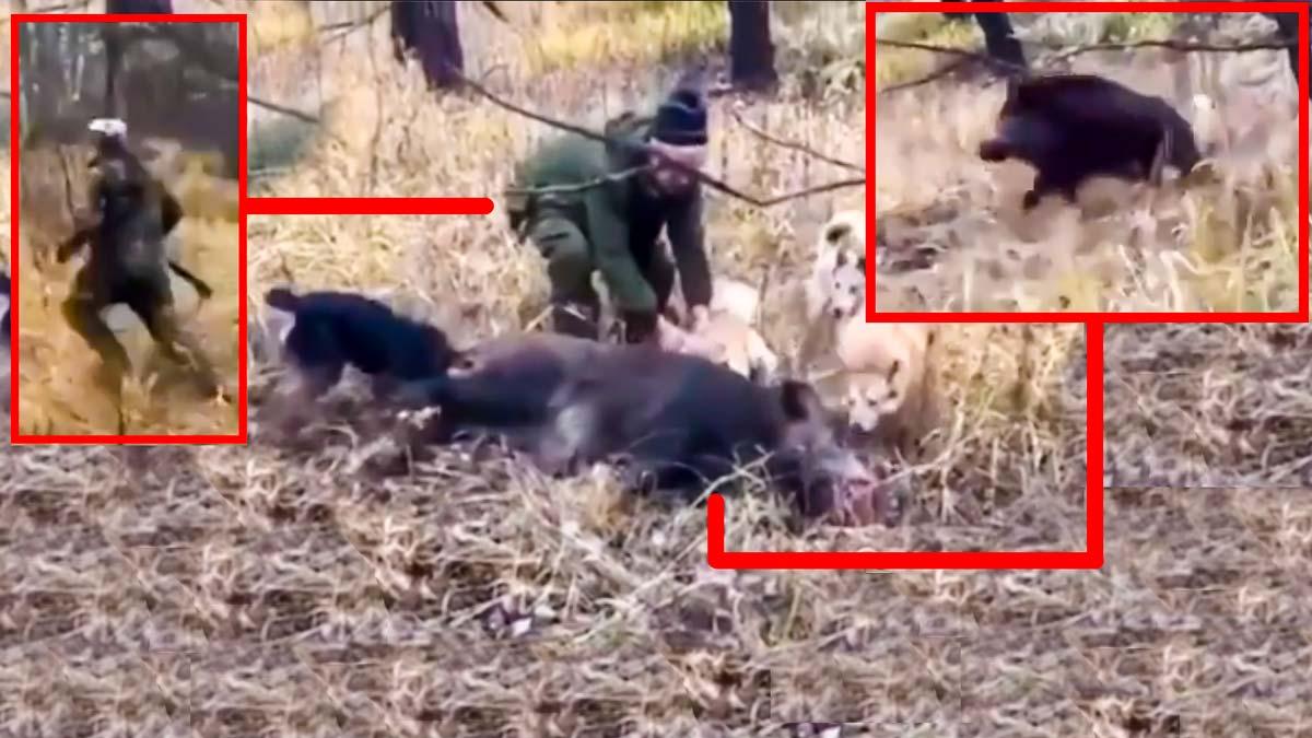 Cazan un jabalí, los perros llegan hasta él y cuando los cazadores lo celebran pasa esto