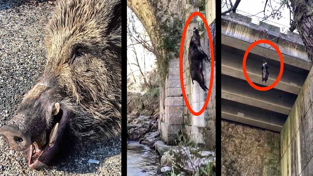 Cazan un tremendo jabalí 'vakamulo' y tienen que sacarlo del monte flotando río abajo e izándolo por un puente