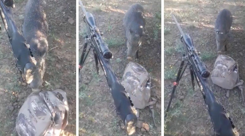 Un jabalí intenta robar el almuerzo a un cazador