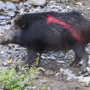 Pintan de rojo un jabalí para que no lo cacen durante una montería