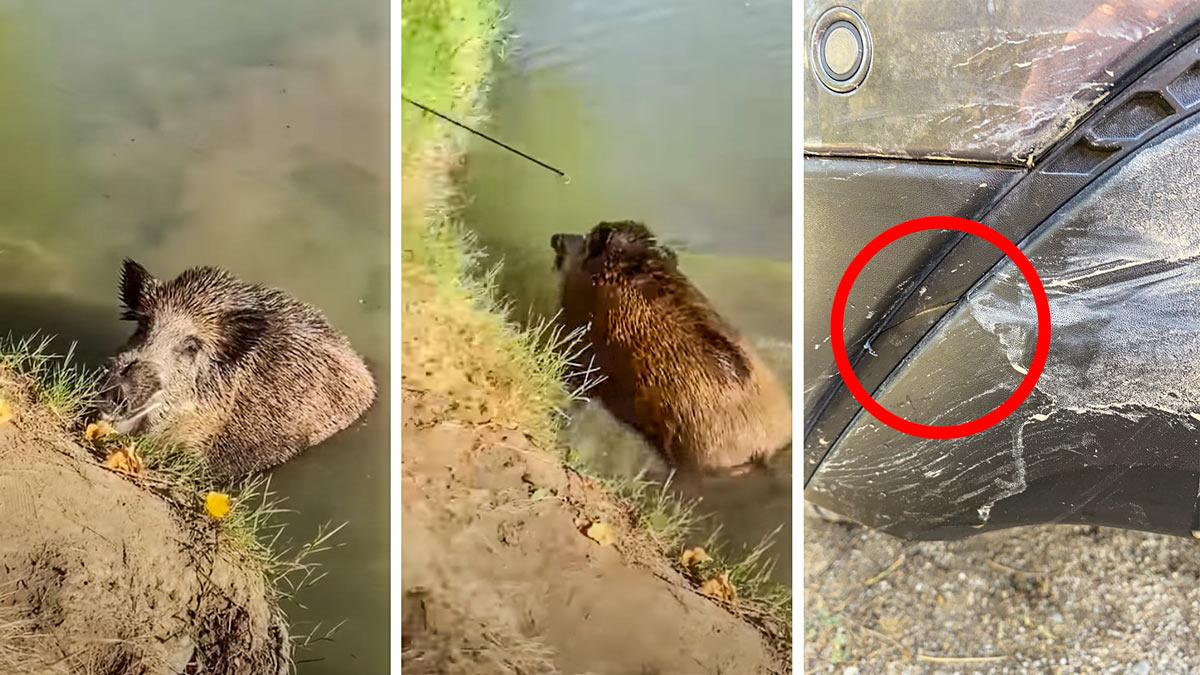 Así acabó el vídeo del gran jabalí y los pescadores sorprendidos: «Salió y se lio a navajazos»