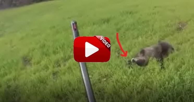 Dispara a un jabalí durante una batida y cuando se acerca se lleva una buena sorpresa…