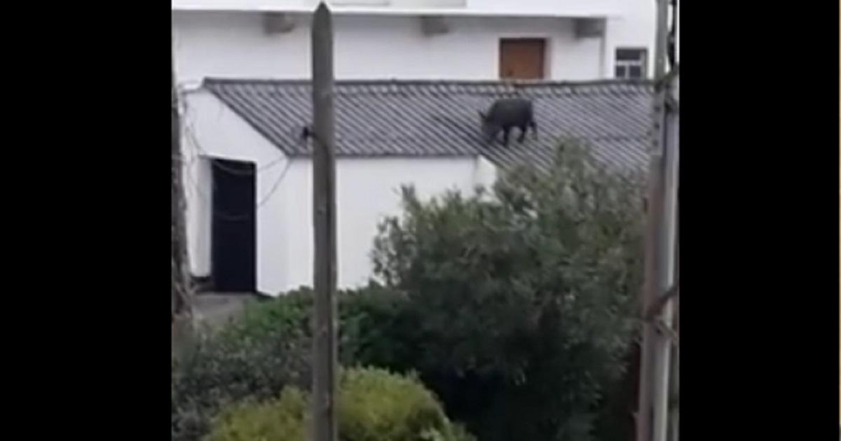 Un jabalí se sube al tejado de esta casa y lo graban con el móvil