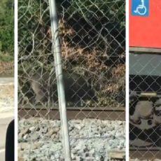 Graban cómo un jabalí está a punto de provocar un accidente con un tren en Barcelona