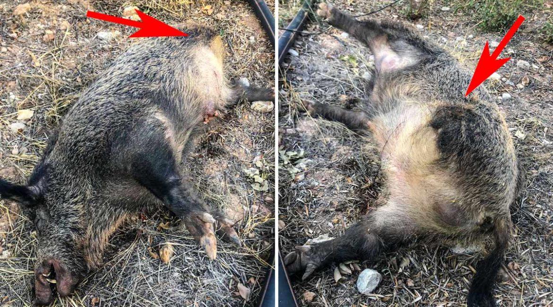 Se le aparece un jabalí de tres patas en Belmez que huye y un día después provoca un accidente
