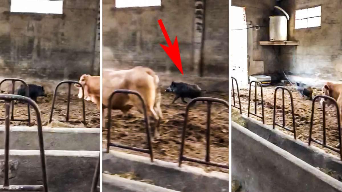 Graba a un jabalí entrando a comer en la nave de sus vacas: «Entra, que te invito»