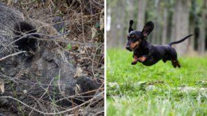 Dos perros de caza son incapaces de sacar a un jabalí de su escondite, hasta que llega este pequeñajo