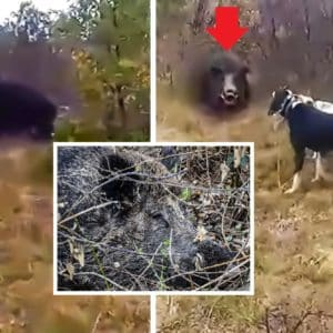 Ni el perro más valiente es capaz de entrar a este impresionante jabalí
