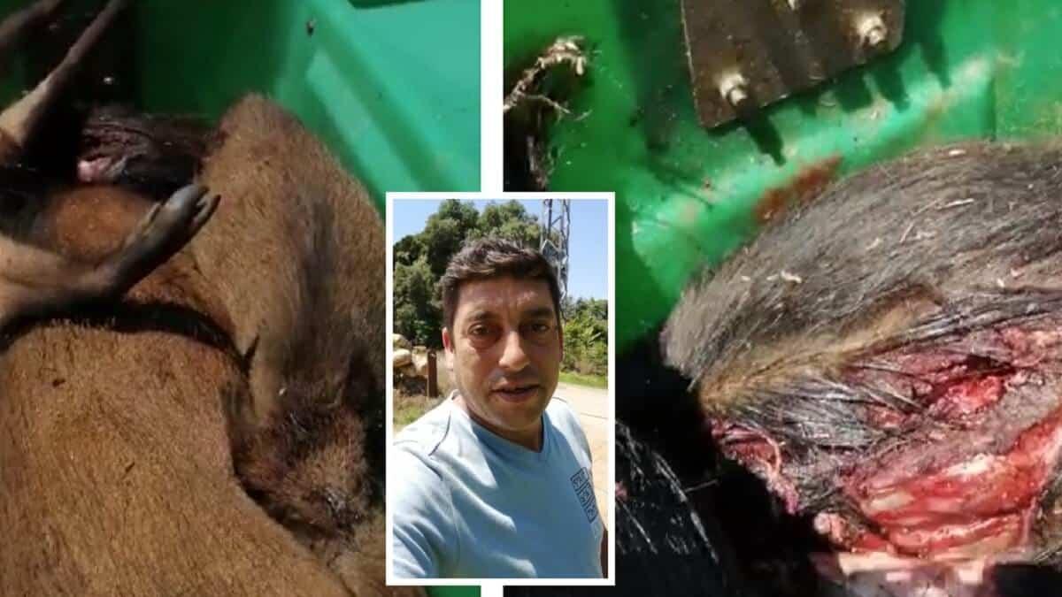 Nuevas imágenes de jabalíes pudriéndose en contenedores en Cataluña cabrean a los cazadores