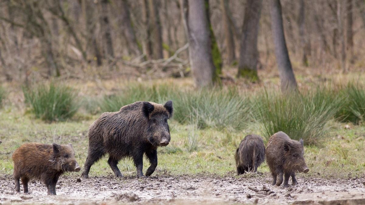 Medida histórica: los cazadores de Murcia no pagarán tasas por cazar jabalíes