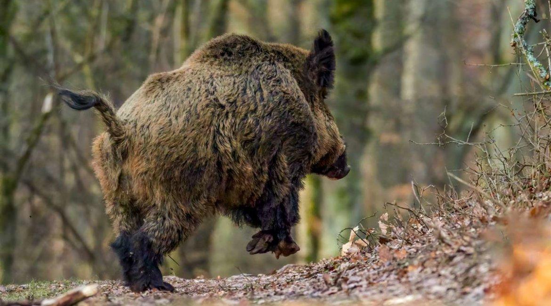 Álava permite a los cazadores desplazarse para realizar batidas de jabalíes
