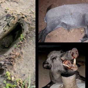 Encuentra una enorme huella de jabalí, lo aguarda y caza este mastodonte de 130 kilos