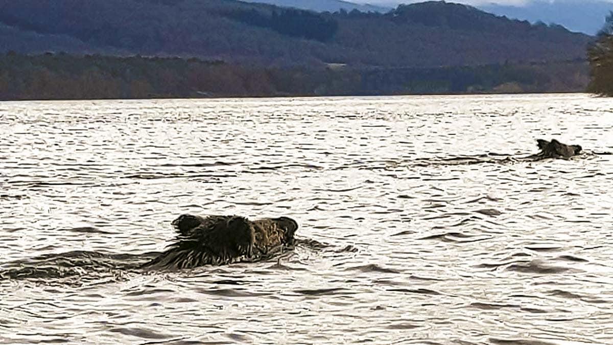 Varios jabalíes adelantan a nado a unos piragüistas en Álava