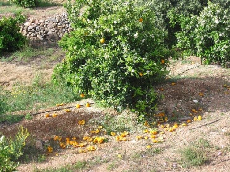 Naranjas destrozadas por los jabalíes en Lliria (Valencia) / Las Provincias.
