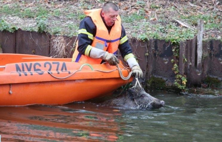 40 jabalíes caen en una balsa en plena cacería y tienen que rescatarlos