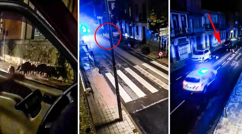 Un cazador guía a la Policía para expulsar a una piara de jabalíes en un pueblo de Barcelona