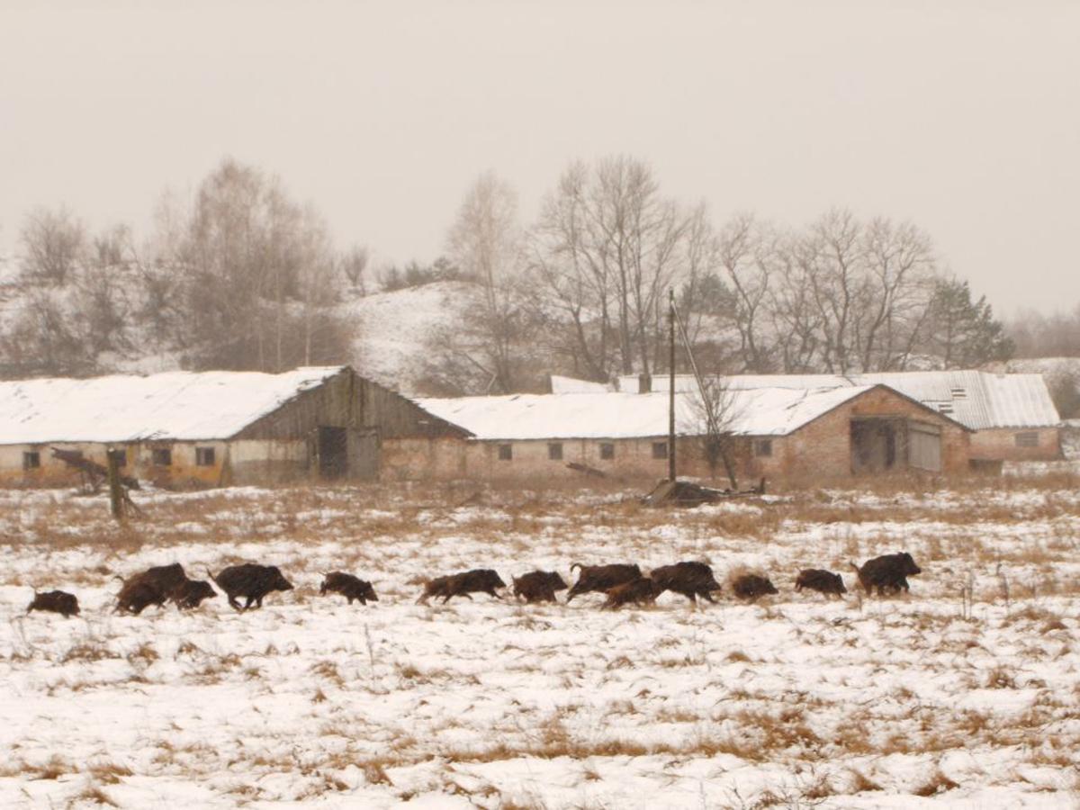 Jabalíes y lobos toman Chernóbil