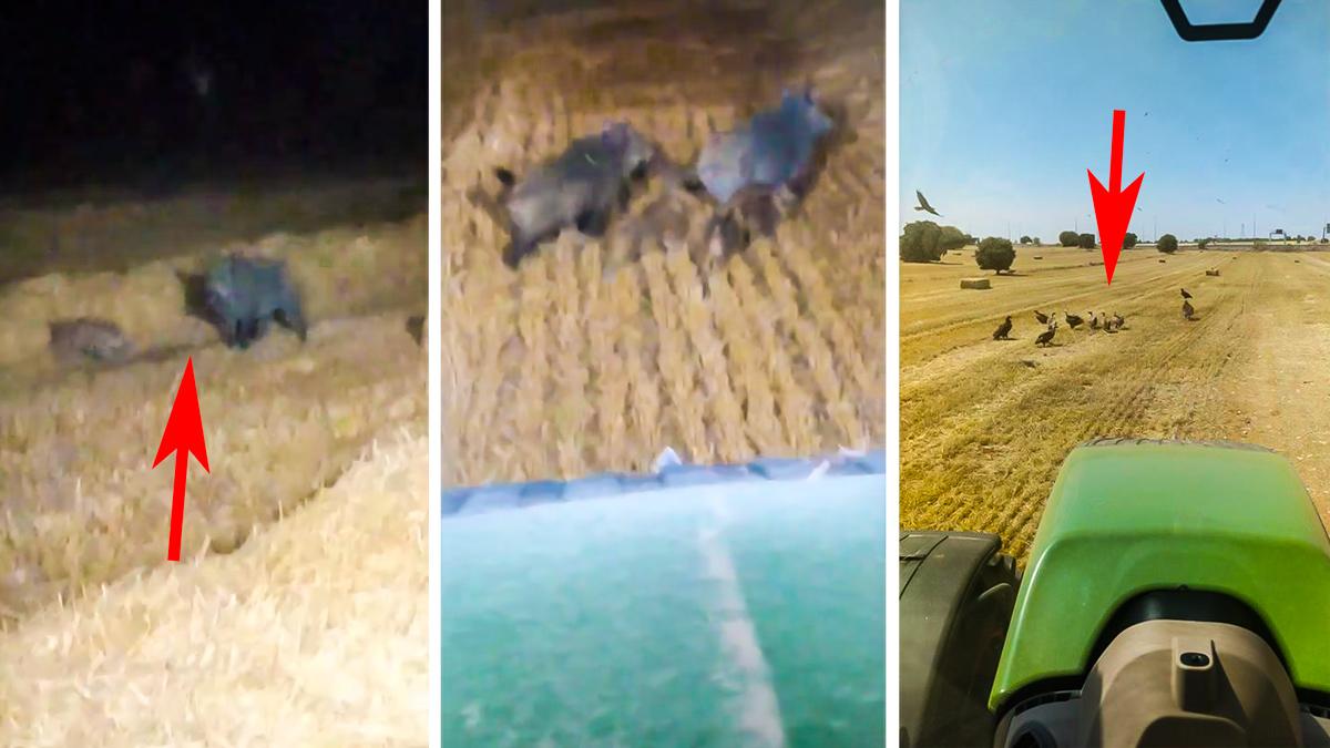 Un agricultor graba a jabalíes y buitres comiendo los conejos que mata la cosechadora en una zona de plaga