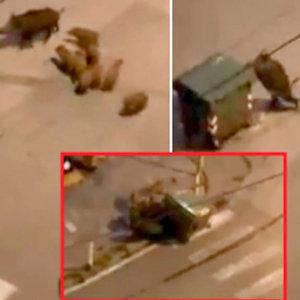 Ocho jabalíes tumban un pesado contenedor y lo arrastran para conseguir comida