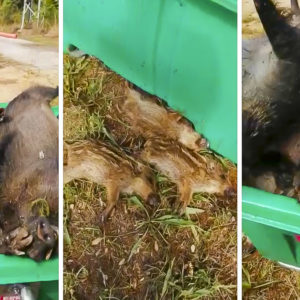 Este vídeo incendia a los cazadores: jabalíes con sus crías pudriéndose en contenedores de Gerona