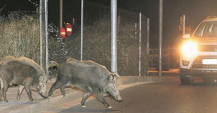 La Comunidad Valenciana prefiere esterilizar jabalíes en lugar de cazarlos