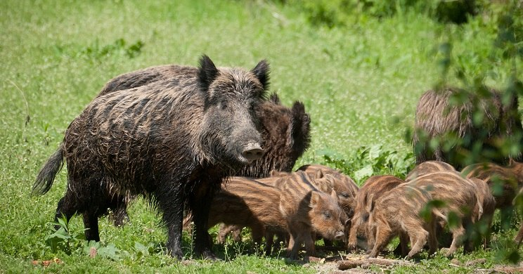 jabalies francia peste porcina africana