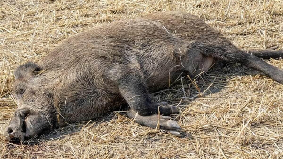 Esto es lo que debes hacer si encuentras una liebre o un jabalí muerto