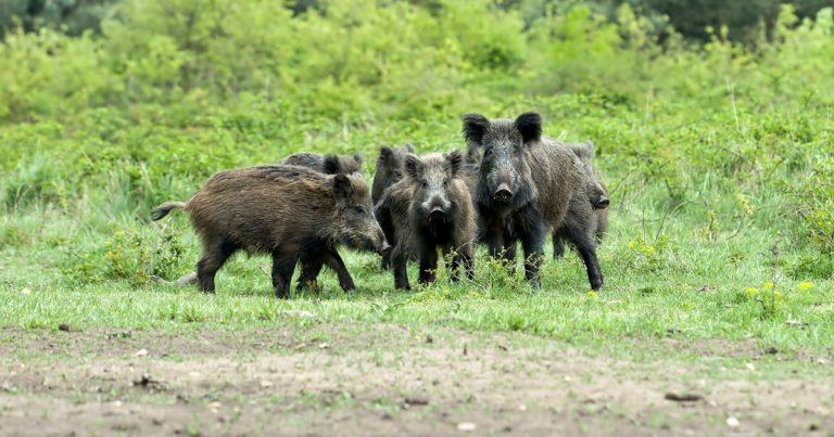 jabalies peste porcina africana china