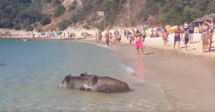 Graban a tres jabalíes bañándose en una playa llena de turistas