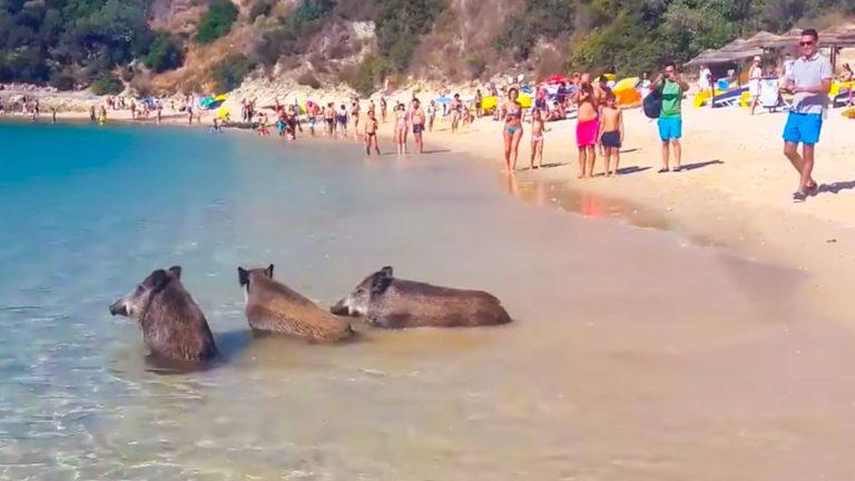 jabalíes en la playa