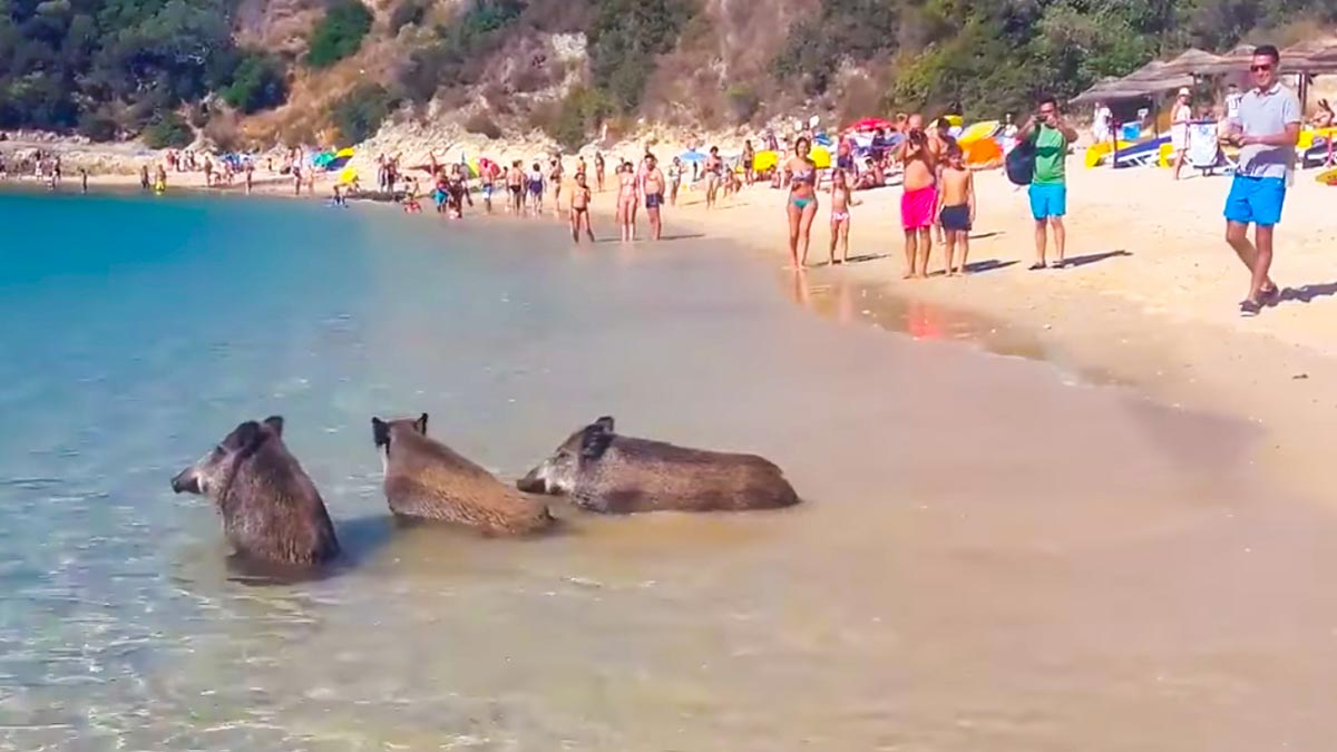 Graban a tres jabalíes bañándose en una playa llena de veraneantes