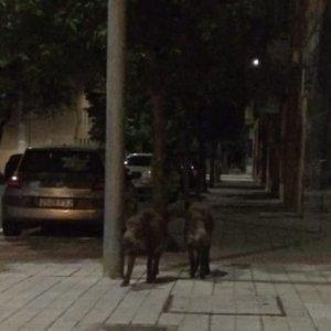 Dos jabalíes se pasean por las calles de Salamanca
