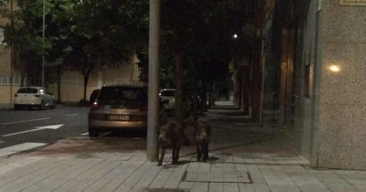 jabalies por las calles de salamanca