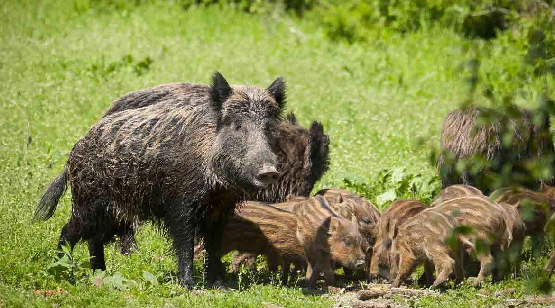 Jabalíes: remiten los casos de peste porcina en Europa