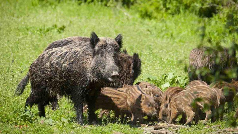 jabalíes peste porcina africana