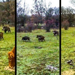 Un grupo de jabalíes intenta robar la comida a unas vacas en un campo de Burgos