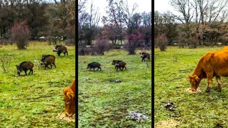 Los jabalíes entre las vacas. © YOUTUBE