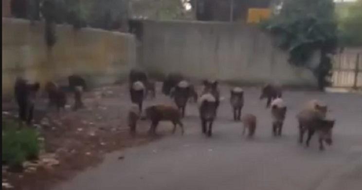 Una manada de jabalíes entra en Roma y rodea el coche de esta mujer